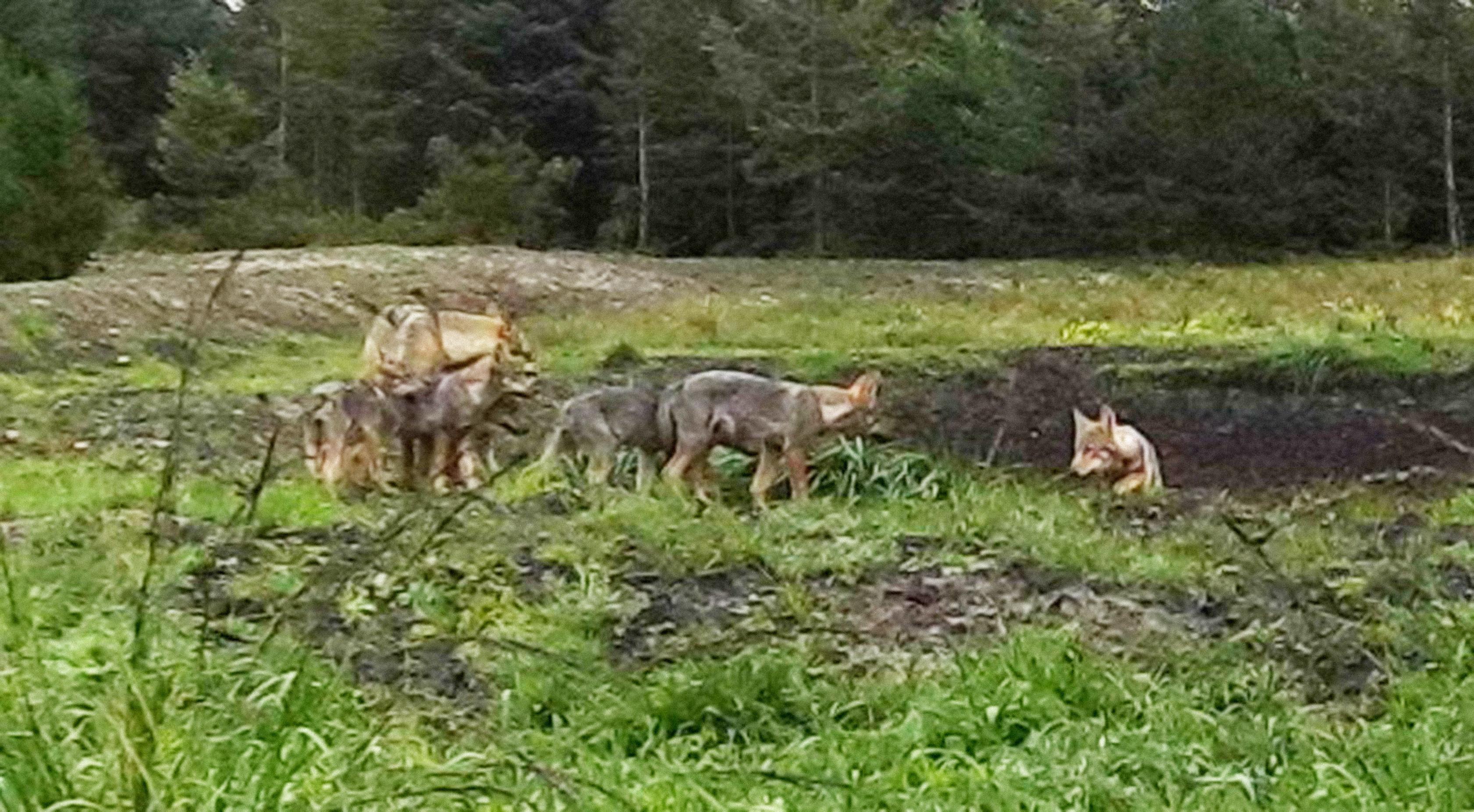 """Experte: """"Wolfsfamilie ist gekommen, um zu bleiben"""""""